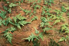 Japanese Climbing Fern Photo